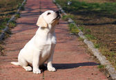 Yellow happy labrador puppy in garden — Stock Photo