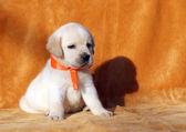 橙色背景的黄色拉布拉多犬 — 图库照片