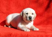 The labrador puppy on a red background — Stock Photo