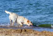 Labrador running by the sea — Stock Photo