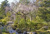 Cherry tree in Kenroku-en garden in Kanazawa, Japan — Stock Photo