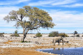 African elephant at water pool in Etosha National Park — Stock Photo