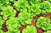 Butterhead lettuce vegetable — Stock Photo
