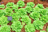 Butterhead lettuce vegetable — Stock Photo