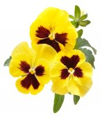 Viola flowers isolated on white background — Stock Photo