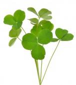 Oxalis acetosella (wood sorrel) plant — Stock Photo