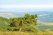 Pine tree on the Black Sea coast  — Stock Photo