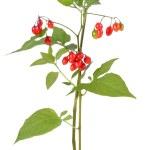 Постер, плакат: Poisonous Solanum dulcamara branch