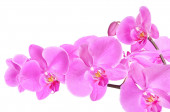 Phalaenopsis orchid branch isolated on white background — Stock Photo