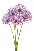Allium flowers  — Stock Photo