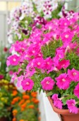 Petunia flowers in flower pot on balcony — Stock Photo
