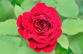 Czerwona róża w ogrodzie — Zdjęcie stockowe