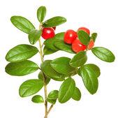 Cowberry (Vaccinium vitis idaea) plant — Stock Photo