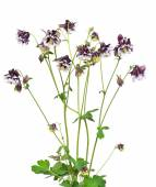 Aquilegia vulgaris flowers on white background — Stockfoto