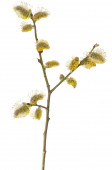 Salix branch isolated on white background — Stock Photo