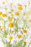 Kamille bloemen in de tuin, close-up, ondiep diepte van fie — Stockfoto