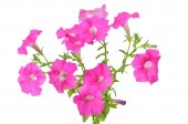 Pink petunia flowers on white background — Stock Photo