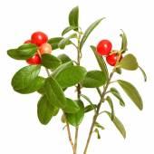 Cowberry (Vaccinium vitis idaea) plant on white background — Stock Photo