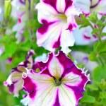 White and purple petunia flowers — Stock Photo #58399183
