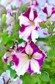 White and purple petunia flowers — Stock Photo