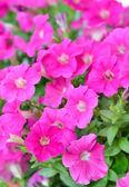 Pink petunia flowers in garden — Stock Photo
