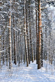 Pine tree covered with snow — Stock Photo
