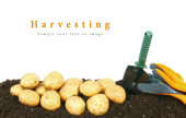 Harvesting. A potato and gardening tools on earth. — Stock Photo