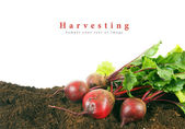 Harvesting. A fresh beet on earth. — Stock Photo