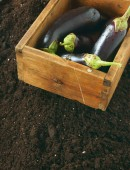 Harvesting. Eggplants in an old box on earth. — Stock Photo