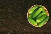 Fresh cucumbers in basket on earth. — Stock Photo