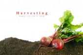 Harvesting. A fresh beet on earth. — Stock Photo