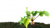 Harvesting. A beet in the earth. — Stock Photo