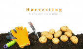 Harvesting. A potato and gardening tools on earth. — Zdjęcie stockowe