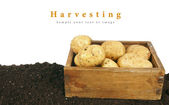 Harvesting. A fresh potato in old box on earth. — Stock Photo
