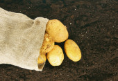 Harvesting. A potato in a bag on earth. — Stock Photo