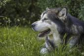Alaskan Malamute male dog portrait — Stock Photo