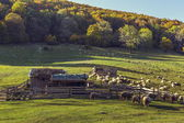 Sheepfold and grazing sheep flock — ストック写真