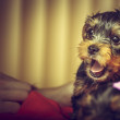 Barking Yorkshire terrier puppy — Stock Photo #58617305