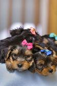 Sueño de Yorkshire terrier cachorros — Foto de Stock