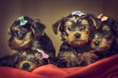 Yorkshire terrier dog puppies — Stock Photo