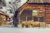 Old wooden cottage and sheep — Stock Photo