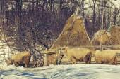 Sheep and haystacks in winter — Stock Photo