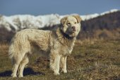 Alert white furry sheepdog — Stock Photo