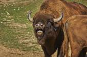 Rutting European bison male — Stock Photo