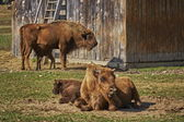 European bison females and calves — Stock Photo