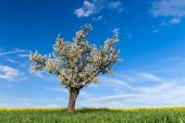 Field, tree and blue sky — Stock Photo