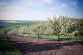 果树春季果园 — 图库照片