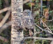 Barred Owl in the Wild of British Columbia, Canada — Stock Photo