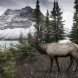 Elk near Bow Lake — Stock Photo #57811993