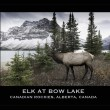 Elk near Bow Lake — Stock Photo #57812315